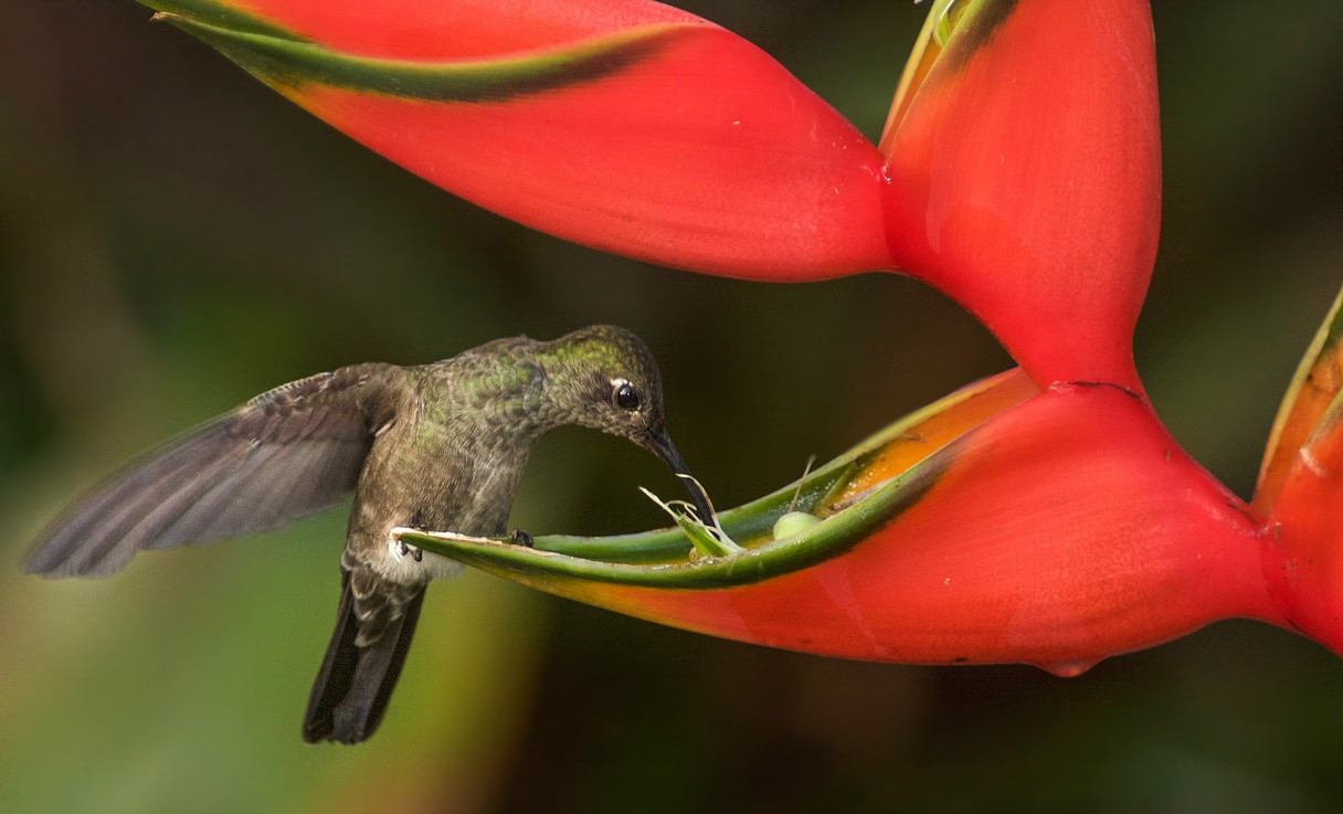 Humming and Heliconia