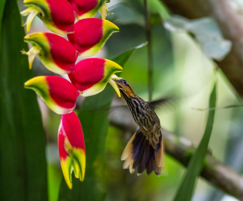 Saw-billed Hummingbird