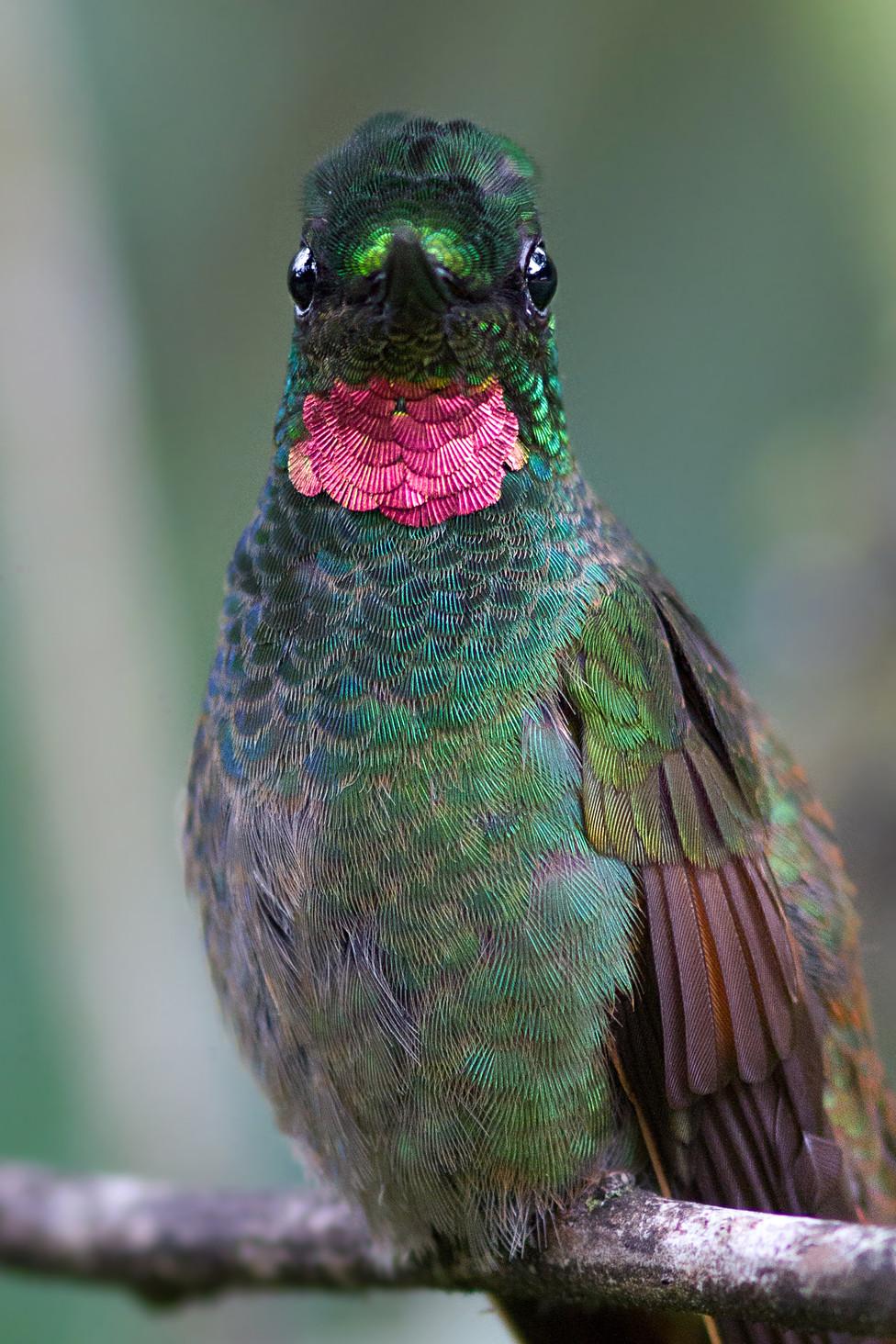 Beija flor rubi PS.jpg