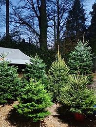 christmas trees 7.JPG