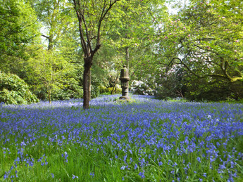 Don't miss our carpet of bluebells