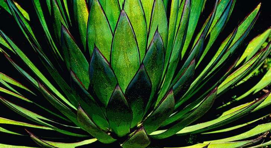 gardeningchannel-agave-plant-types.jpg