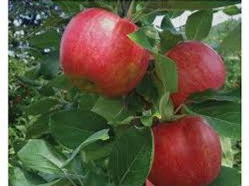 Organic HoneyCrisp Apple Tree