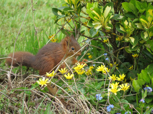 écureuil en balade dans le jardin