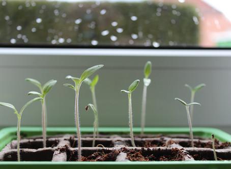 Gemüse vorziehen- 3 wichtige Tipps!