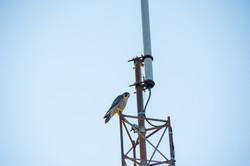 Peregrine Falcon on WB9AGX Antenna