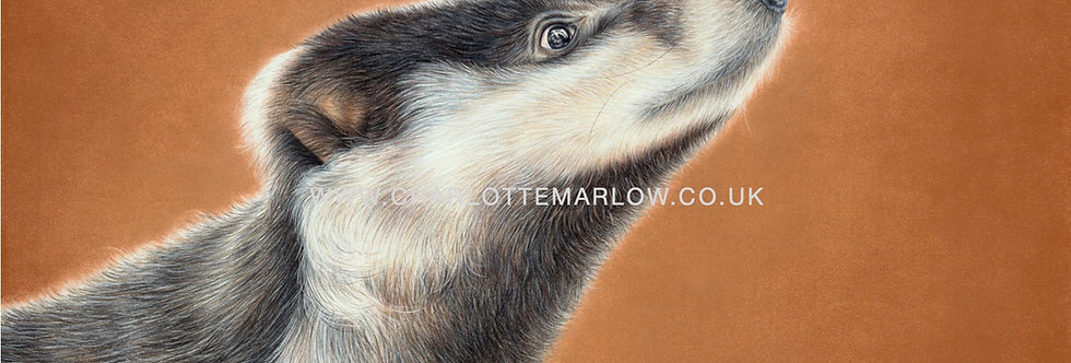 'A Badger's Gaze' Limited Edition Print