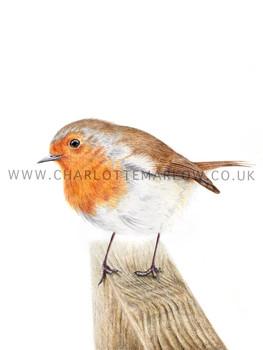 An Inquisitive Robin, Grasmere