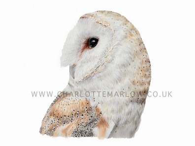 Gladstone - Barn Owl