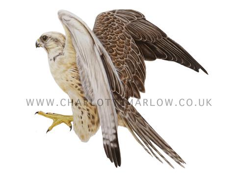 Spirit - Saker Falcon