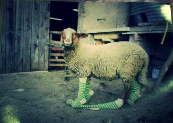mouton chaussettes