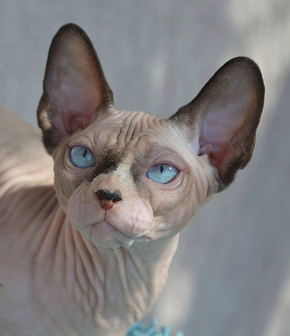 De Bliss Bree-Anaof Glamourcattery