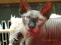 sphinx cat picture