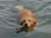 reference golden retriever picture photo swimming