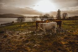 Cows Seil