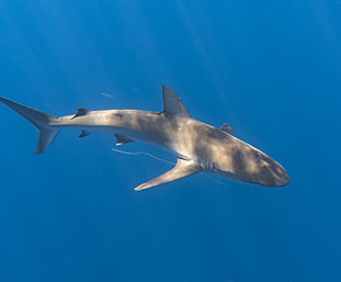 Hawaiian Galapagos Shark