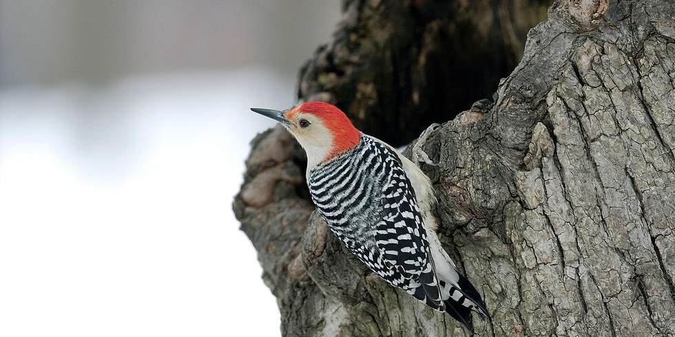 Beginning To Bird: Woodpeckers (Adult Program)