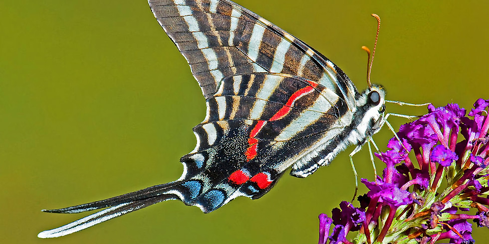 Ijams Field Day: Butterflies of the Fields and Forests