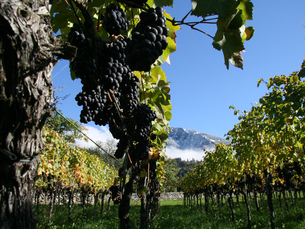 Pinot Noir Rebberge Donatsch