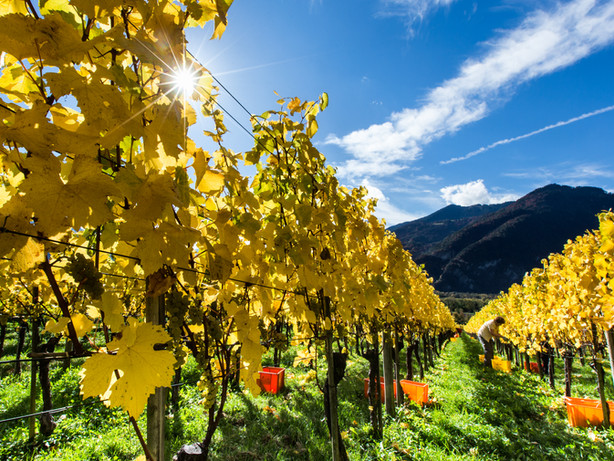 Rebberg bei der Weinlese