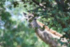 Malawian Tour - Girafe à Kuti