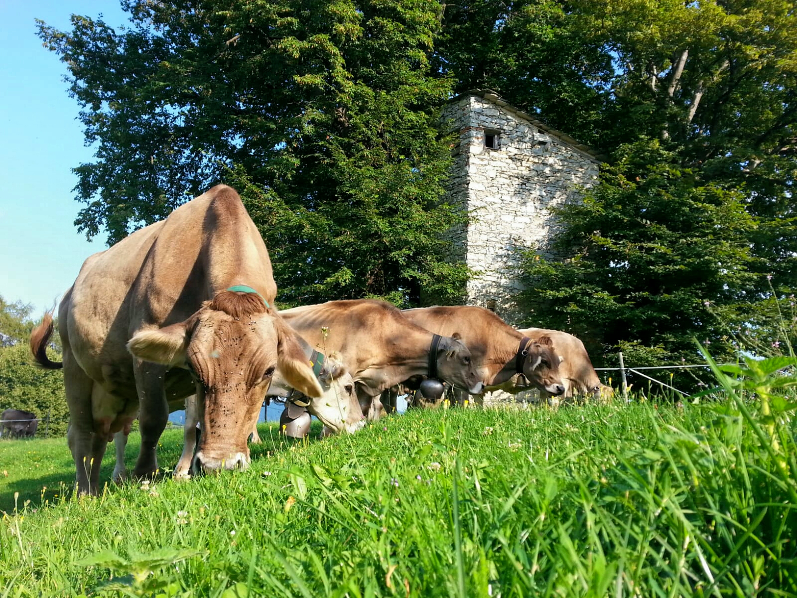 Le mucche col roccolo di Pianspessa