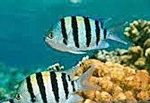 sargent mg fish.jpe