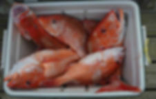 Red snapper in the cooler  .jpg