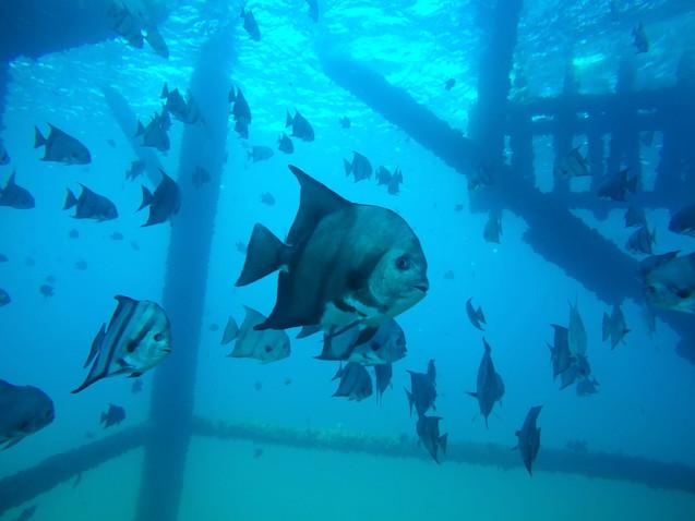 Spade fish at an oil rig_
