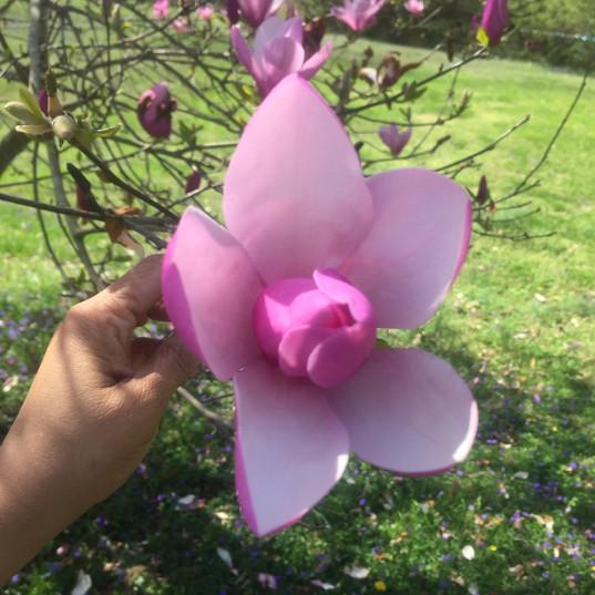 Ashe Magnolia