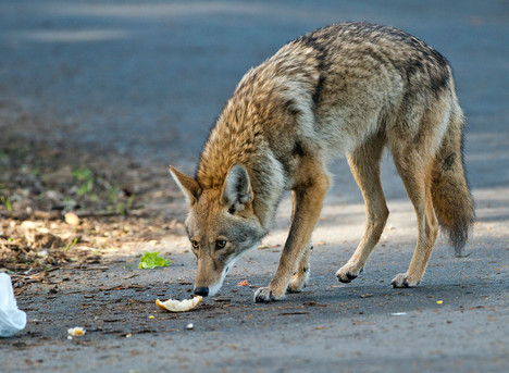 Coyotes, Compliance and the Human Factor