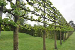 Example of pleached trees