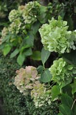Hydrangea 'Bridal bouquet'