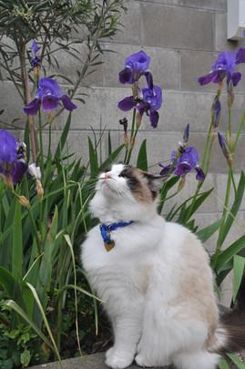 Owners cat in the iris garden