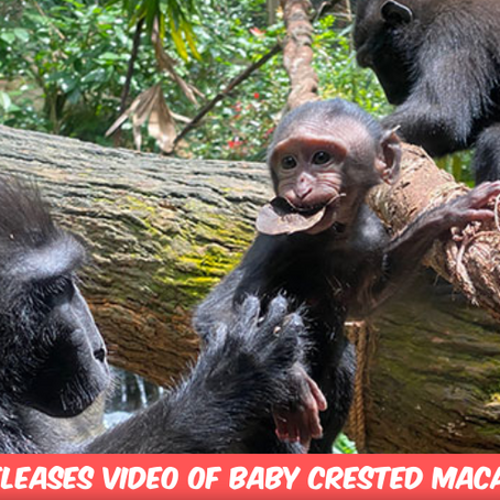 Singapore Zoo Bestows Video Footage Of Baby Macaque Upon The World