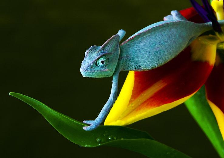 modrý Chameleon