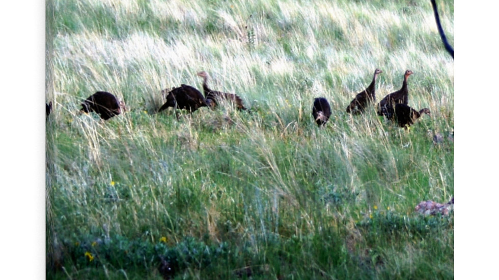 Greenhorn Mountain Turkey Canvas Gallery Wraps