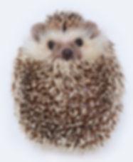 hedgehog-portrait.jpg