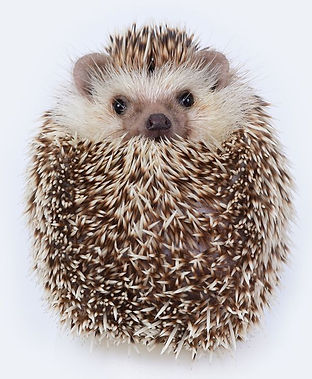 hedgehog-portrait.jpg