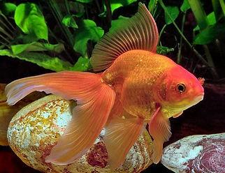 Fancy-Red-Fantail-Goldfish.jpg