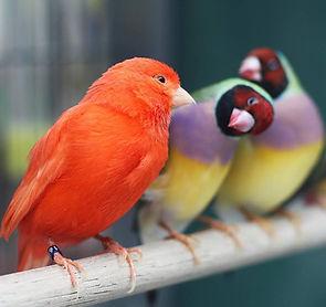 canary-finch.jpg