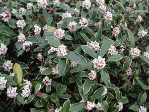 Daphne odora Aurea Marginata