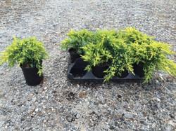 Juniperus 'Daub's Frosted' qts
