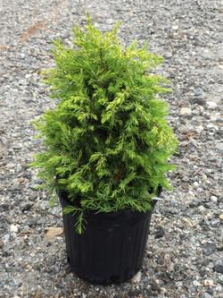 Juniperus communis 'Gold Cone' 1G