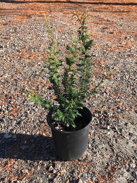 Fernspray Cypress