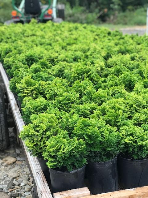 Verdonii Hinoki Cypress