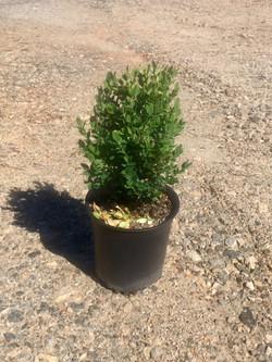 Buxus Green Mtn
