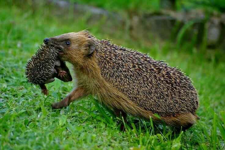 mother hog