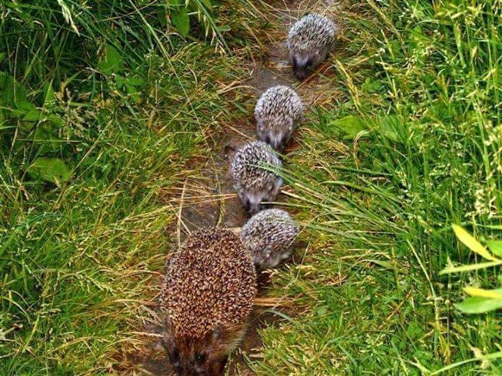 baby hogs and mother
