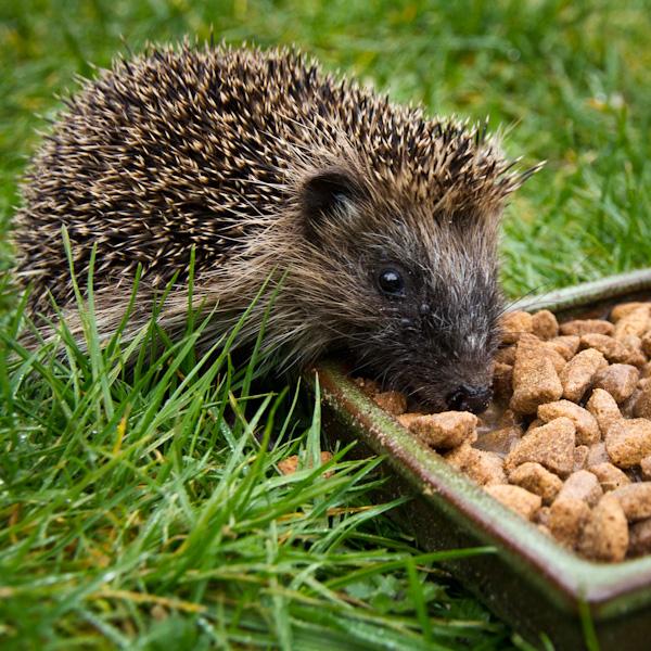hog feeding outside